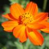 供应硫华菊花种