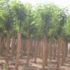 专业供应:国槐,油松,雪松,白皮松,杨树,柳树,紫叶李等苗木
