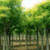 涑源苗圃大量供应:国槐,油松,白皮松,刺槐,紫叶李,核桃树