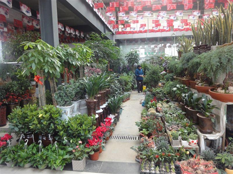 """""""最近来买花的人明显多了,尤其到了周末,只要天气不错,顾客就非常多。""""据东兴路一家花卉市场的商户王先生介绍,春节过后随着天气转暖,花卉销售也渐入旺季,尤其是小型盆栽花卉最受消费者欢迎。""""小型盆栽价格实惠也比较好养,卖得比较好。开店营业的商户或是乔迁新居的顾客则比较青睐'发财树''平安树'这些寓意较好的绿植。""""王先生说道。 据商户介绍,每年三、四月,花卉市场还会迎来一个销售小高峰,很多市民愿意在这个时候挑几盆花"""