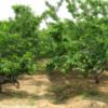 专业供应:樱桃,苹果,山楂,柿子,杏树,核桃,梨树,花椒