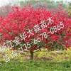 红叶石楠种植基地金华大森苗木
