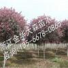 红叶石楠小苗冬季如何养护