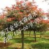 红叶石楠树种植管理的要点