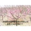 供应红梅、绿梅、榆叶梅