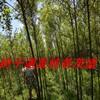 供应黑龙江柳树插穗一二三年苗及绿化定植苗