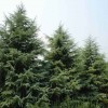 红叶石楠苗圃价格---自产自销红叶石楠价格走势分析