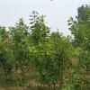 山西欧洲红栎价钱 山西欧洲红栎批发 青苑农业供