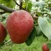 优质梨树苗供应 梨树苗批发 红梨树苗批发基地