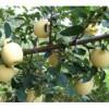 维纳斯黄金苹果接穗,矮化维纳斯黄金苹果苗。