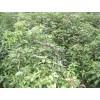 供应米径1公分香樟·2公分香樟·3公分香樟小苗