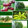 樱桃树苗管理 樱桃苗1-6公分价格
