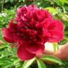 观赏芍药、芍药花、芍药种植基地招商
