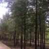 供应银杏树,苗圃现挖、树形优美、质量保证,欢迎咨询