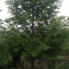 水杉10-15cm