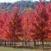 出售美国红枫-秋火焰、红点、十月光辉、红冠