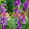 优质绿肥毛苕子紫花苕子紫云英紫花苜蓿澳洲燕麦种子价格实惠