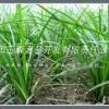 绵阳麦冬|三台麦冬|小叶麦冬批发基地