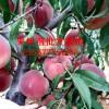 桃树苗品种介绍 桃树苗价格 南阳桃树苗批发基地