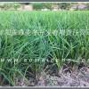三台小叶绿化麦冬草批发基地