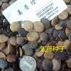 藤本攀援落叶爬山虎紫藤花种子小苗保鲜包寄全国