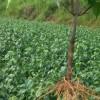 湖北利川供应豆腐树、神豆腐(斑鸠叶)、食用豆腐树叶