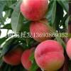 南阳桃树苗,河南桃树苗批发,桃树苗价格,桃树苗供应