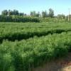 供应1米油松,1.2米油松,1.5米油松,山西油松价格