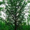 出售银杏、美国红枫、法桐、白蜡、国槐