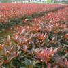 红叶石楠小苗多少钱一棵?