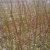 鸡爪槭小苗多少钱一棵?