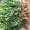 红豆杉小苗多少钱一棵?