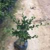 湖北福建茶,湖北基及树价格,出售基及树,大量地被苗木供应