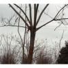 供应合欢,国槐。法桐,白蜡,银杏树,美国红枫