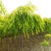 复叶槭8公分价格9公分金叶复叶槭处理10公分复叶槭价格低