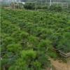 上海庭院绿化养护 庭院绿化植物出租 种类多样 萧绍供
