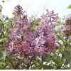紫丁香种苗  胶东卫矛种苗   侧柏种苗   红叶小檗种苗