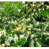 榆叶梅  紫丁香  金银木  珍珠梅   连翘  黄刺玫