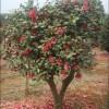 创绿整片茶花球,红枫树,腊梅花北碚江津现场直销量大从优