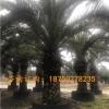 加那利海枣福建基地供应 加那利海枣福建基地种植移栽价格