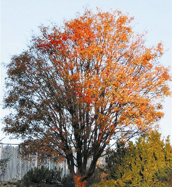 我国特有红叶树种——— 血皮槭的景观之美