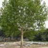 银杏树、法桐、红叶石楠球、雪松、黄山栾树、紫薇、桂花树、红枫