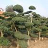 小叶女贞造型树、造型油松、造型黑松、造型罗汉松、龙爪槐、榔榆