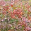 南天竹、珍珠梅、法国冬青、南天竹、栀子花、洒金柏、红花继木球