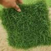 安微马尼拉草坪苗木基地