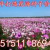 格桑花种子价格多少钱一斤