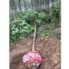 河南楸树基地 4-5-6公分楸树价格 河南楸树小苗种植