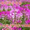 醉蝶花种子价格