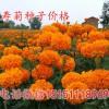 万寿菊种子价格