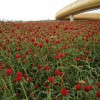 千日红种子价格